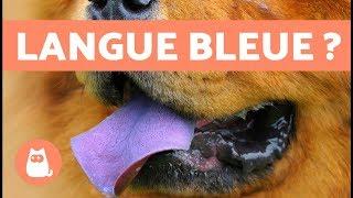 Pourquoi Le Chow Chow A La Langue Bleue ?  - Découvrez Enfin Lexplication !