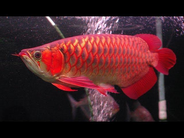 The Arowana Fish (Top aquarium tank)