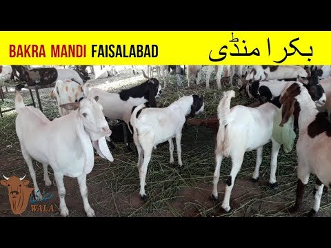 19 | Cow Mandi 2018/2019 | Video in Urdu/Hindi with Price