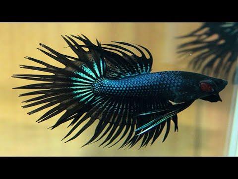Koleksi ikan Cupang Hias Crowntail atau Ikan Cupang Serit Asli dari Indonesia