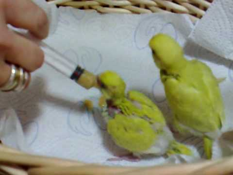 Baby Budgie Food Formula
