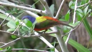 MALE PAINTED BUNTING FLUTTERS HIS WINGS While Perched! Pinckney Island National Wildlife Refuge