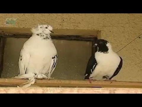 Породы голубей