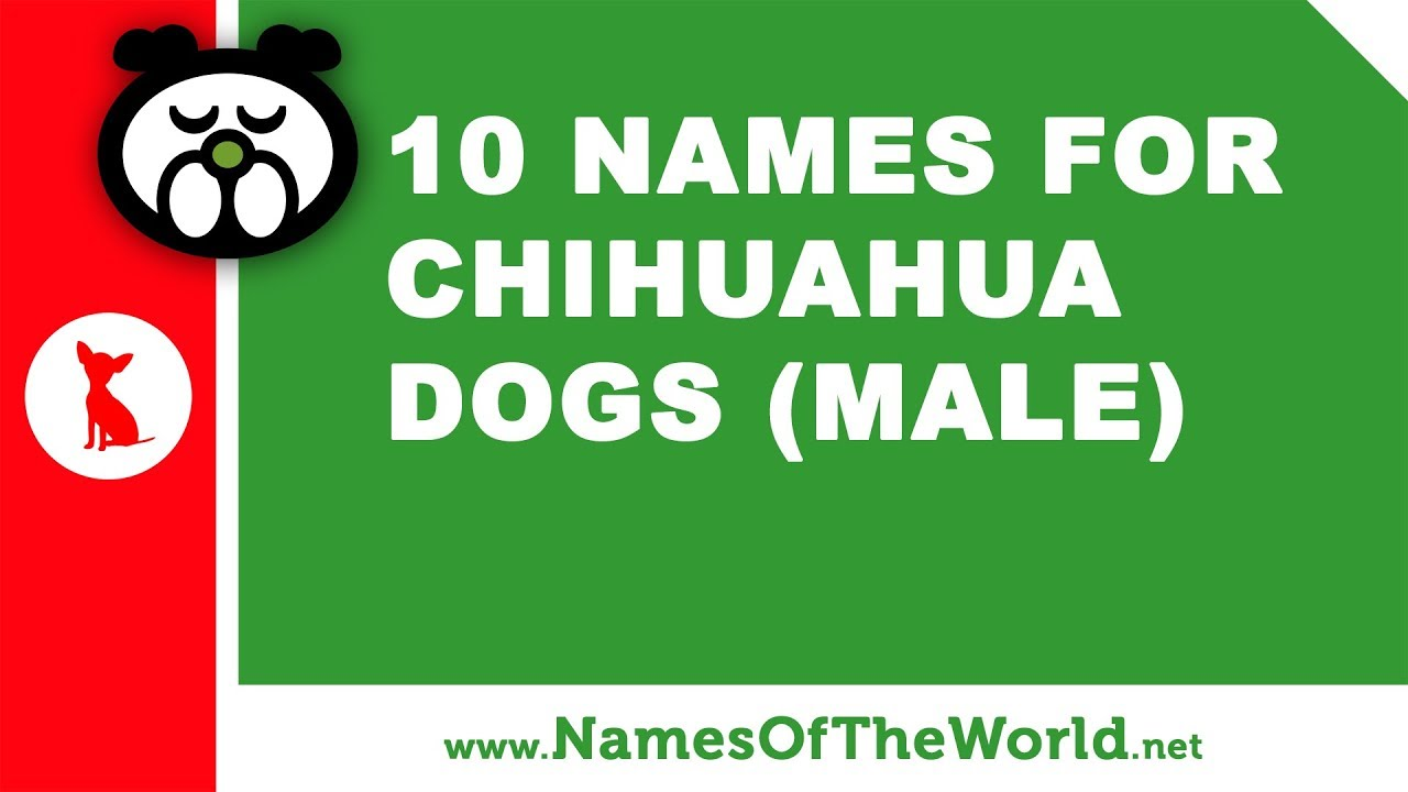 10 chihuahua male dog names - the best pet names - www.namesoftheworld.net