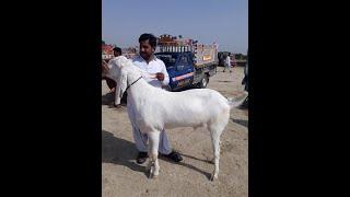 rajanpuri bakra bakri - Kênh video giải trí dành cho thiếu