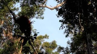 preview picture of video '07.07.2011-Orang Utan swinging in Tanjung Puting Nationalpark'