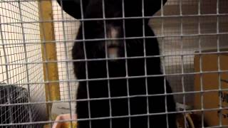 preview picture of video 'Just one of the bunny rabbits looking for a home at the GSPCA Animal Shelter in Guernsey'