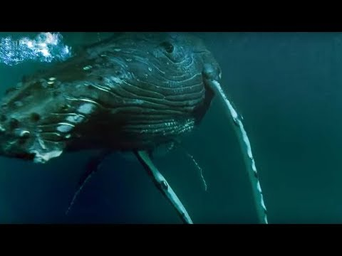 Download Whales Hunting Krill | Planet Earth | BBC Earth Mp4 HD Video and MP3