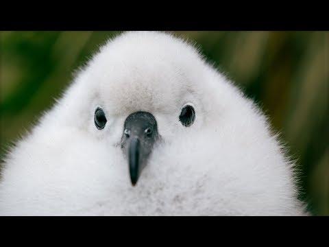 Antarktické bouře sfoukávají ochmýřená ptáčata z hnízd