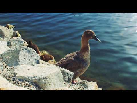 Ducklings Kickstarter Video...