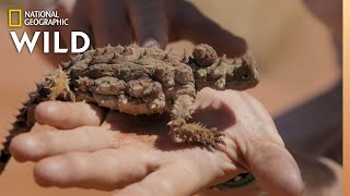 The Thorny Devil of Australia | Out There With Jack Randall