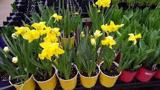 How to grow and take care of Daffodils | Donna Joshi