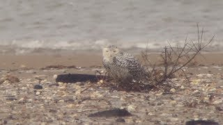 Snowy Owl at Thornham Point, Norfolk