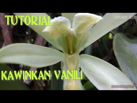 TUTORIAL CARA MENGAWINKAN/PENYERBUKAN BUNGA VANILI & CARA AGAR POHON VANILI CEPAT BERBUNGA & BERBUAH