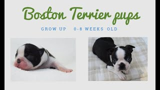 Boston Terrier Puppies Growing Up (0 - 8 Weeks Old)