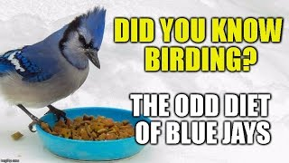 Did you Know Birding? The Odd Diet of Blue Jays [HD]
