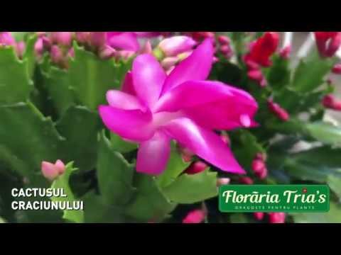 tratamentul cactusilor și paraziților