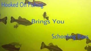 Schooling Bass