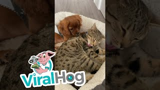 Cavalier and Kitty Cuddle Together || ViralHog
