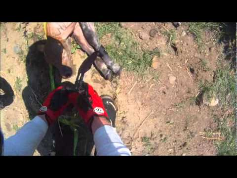 Guy saves a calf out of a canal while riding his bike (VID)