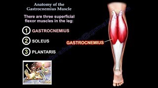 Anatomy Of The Gastrocnemius Muscle - Everything You Need To Know - Dr. Nabil Ebraheim