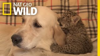 See This Dog Mom Protect a Leopard Cub From Cannibalism | Nat Geo Wild