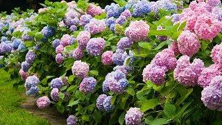 4K HDR Video - Beautiful Hydrangea Flowers And NAN LIANG GARDEN