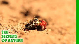 Mangrove Crabs - Africa's Wild Wonders - The Secrets of Nature