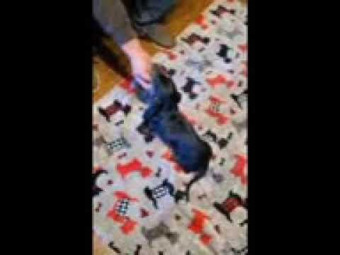 Betty - Dachshund, Mini puppy for sale