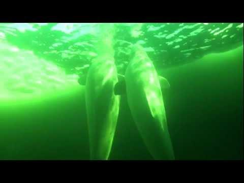 Belugas, Weisses Meer allgemein,Russland