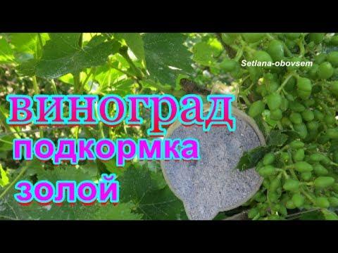 ВИНОГРАД- ПОДКОРМКА ДРЕВЕСНОЙ ЗОЛОЙ .,после цветения  ...Приготовление  ЖИДКОГО удобрение с  ЗОЛЫ..