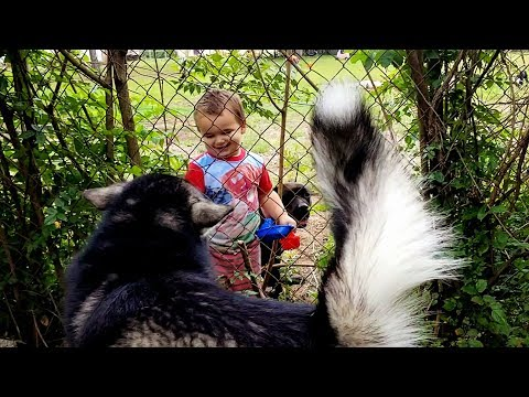 Malamute Says Hello To Toddler ♡!