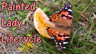 How To Look After Painted Lady Butterflies - The Life Cycle Of The Painted Lady