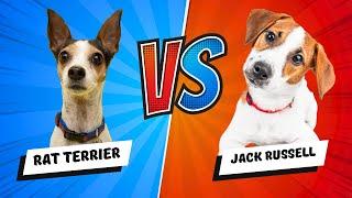 Rat Terrier Vs Jack Russell Terrier - Which Is Better? Dog Vs. Dog