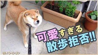 【海外の反応】「メチャメチャ癒されたわ!」散歩に行きたがらない日本の柴犬が可愛すぎると世界中で話題に