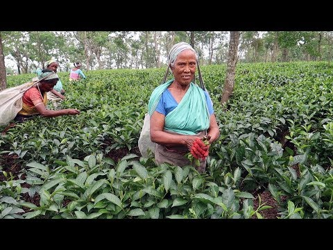 Assam Tea at Best Price in India
