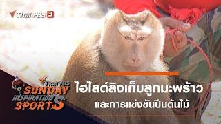 ไฮไลต์การแข่งขันลิงเก็บลูกมะพร้าว - การแข่งขันปีนต้นไม้ : Sunday Inspiration Sports (5 เม.ย. 63)