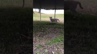 Alaskan Husky Puppies Videos