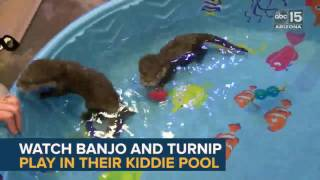SPLASH! Wildlife World Zoo's Baby Otters' First Swim Lesson - ABC15 Digital