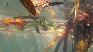 Native Fish: Mouth Almighty (Glossamia aprion) stealth hunting.