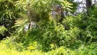 Tree Of Heaven  (Ailanthus Altissima) Sumac - Invasive Species