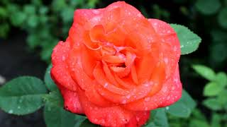 """Intro """"The wet kiss of a rose"""" Интро """"Влажный поцелуй розы"""" Заставки для видео без звука"""