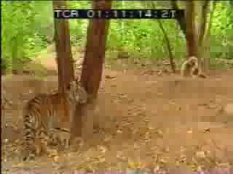 1 Khỉ solo 2 hổ
