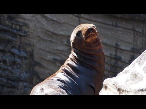 【東山動植物園公式】頑張るアシカの赤ちゃん「アマビエ」