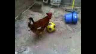 preview picture of video 'pollo jugando futbol'
