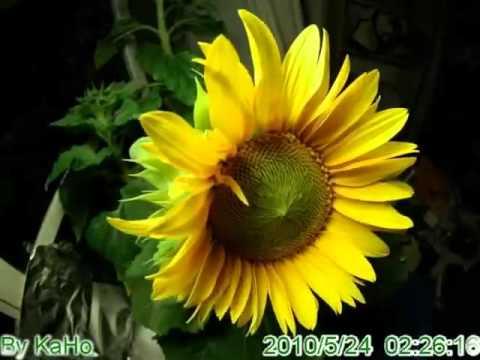 Video Pertumbuhan bunga matahari #talampot