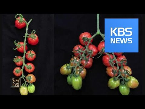 [글로벌 경제] 유전자 조작 식품, 믿고 먹어도 될까? / KBS뉴스(News)