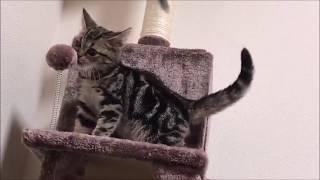 キャットタワーで不思議な動きをしながら遊ぶ子猫