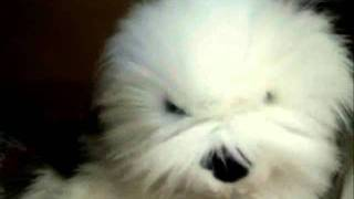 Nimbus Sheepdog sings Old Wild Men by 10cc