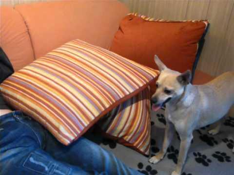 Kleiner Hund ganz groß! 19 Sammy tobt auf der Couch
